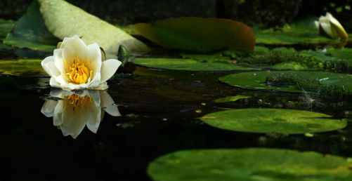 white flower on body of water