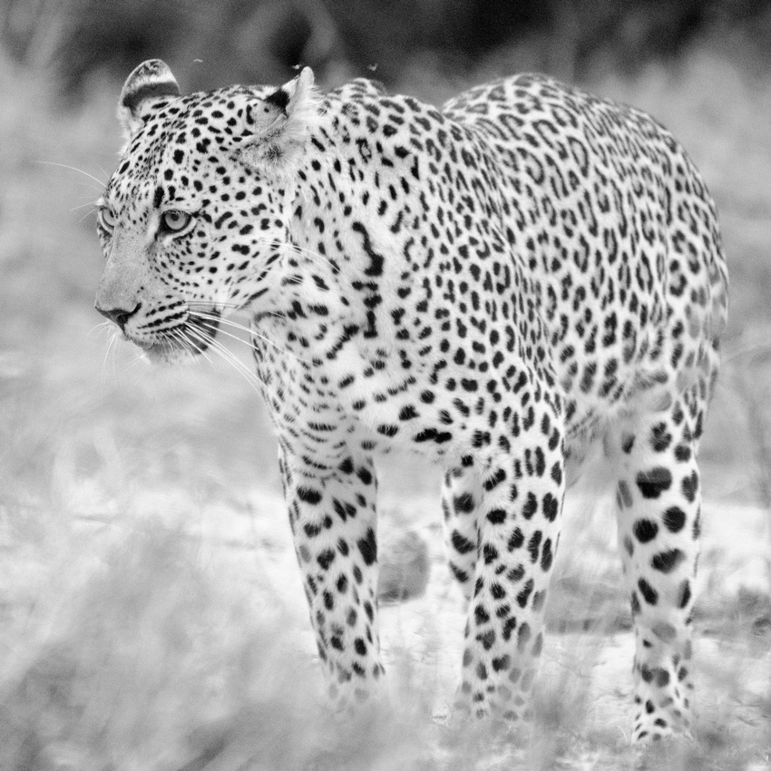 Wendy Ng Photography: South Africa &emdash; Leopard Walking