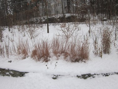 Red twig dogwood provides winter interest.