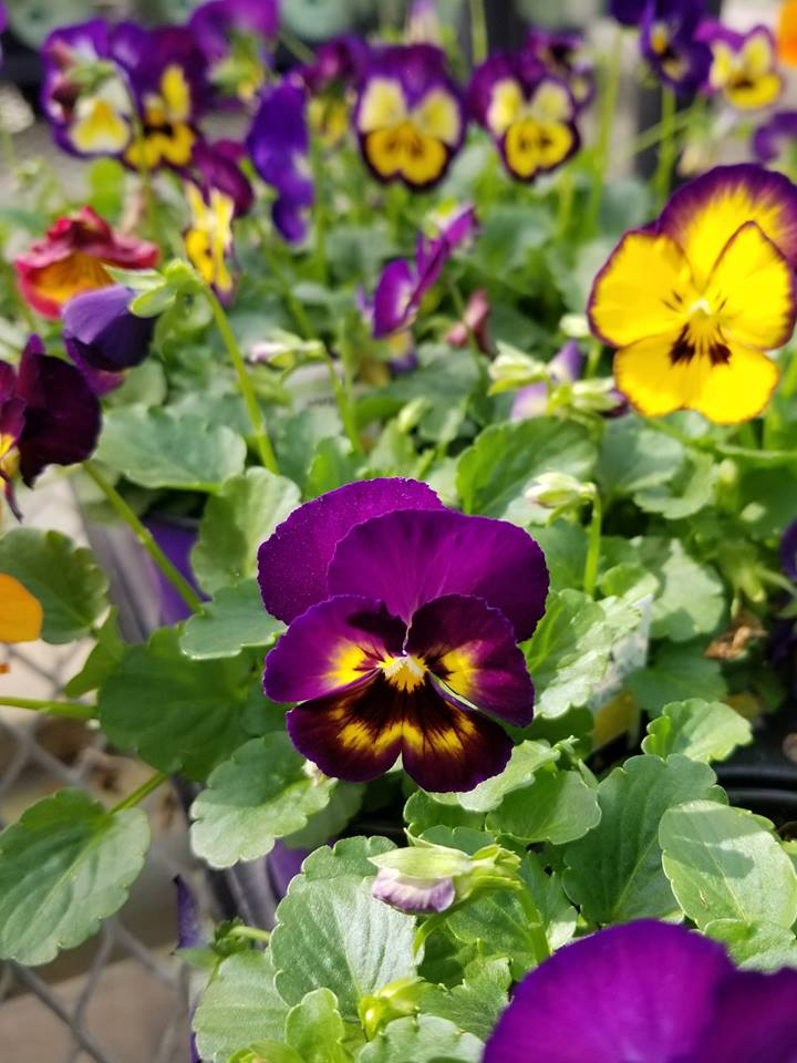 What Can I Plant Now Cool Season Flowers And Vegetables For April