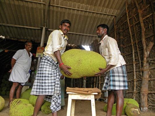 giantjackfruit400x533