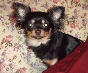 WereWatchers - Haircare - Chihuahua - Not Look