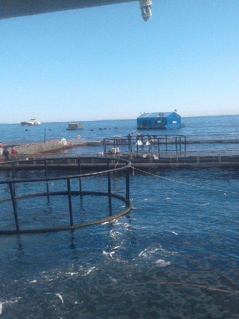 VIDEO: Temen masivo escape de salmones por choque de barco con centro de cultivo