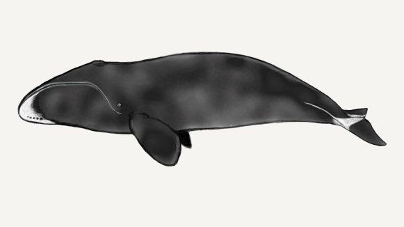 Groenlandse walvis door Astrid Roquas