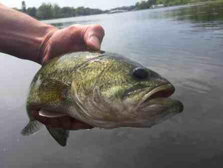 Grand River Largemouth Bass