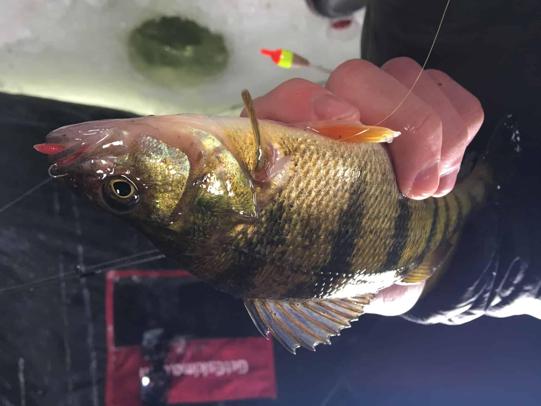 Hamlin Lake   Ludington Michgan   Ice Fishing Report