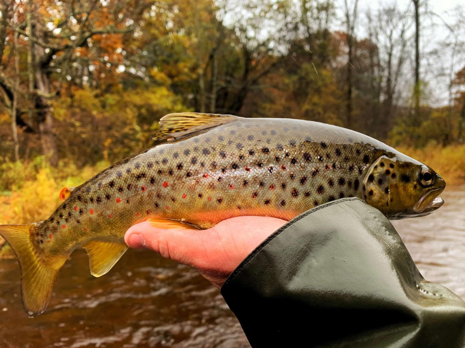 White River Brown Trout