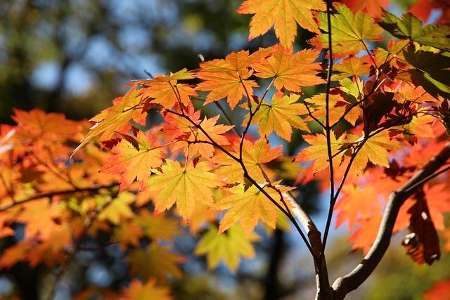 Ahorn Blätter