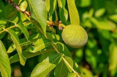 Blätter und Frucht der Walnuss