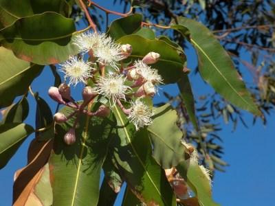 Eukalyptus Blüte