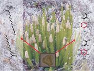 Lycopodium spore chemistry