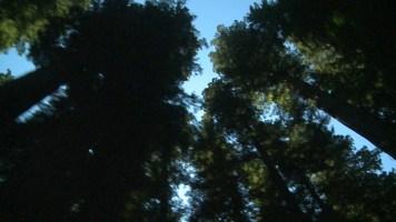 Redwoods-2011-3