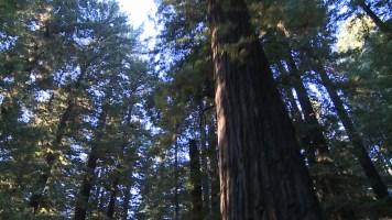 Redwoods-2011