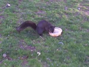 blacksquirrel