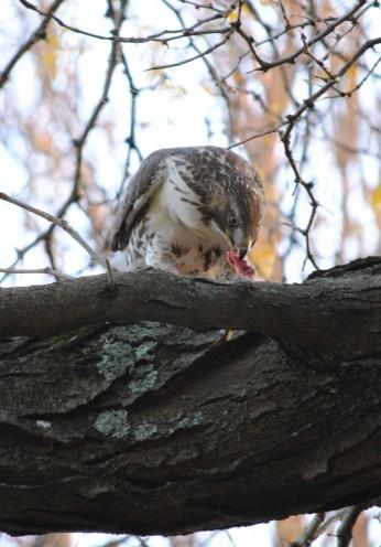 hawk eats squirrel2