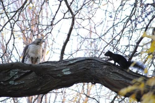 hawk eats squirrel3
