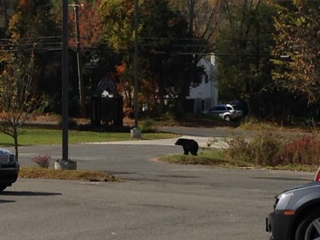 middletown-bear