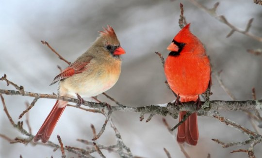Pair-of-Northern-Cardinal-in-a-tree