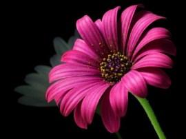 daisy_pollen_flower_220533