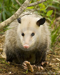 opossum-possum-eye-to-eye-20792657