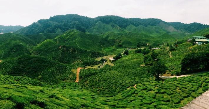 plantacje herbaty w Tanah Rata