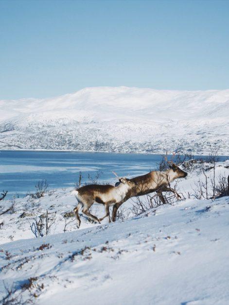 Renifery Tromso