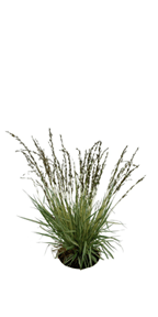 Native Grasses for Landscaping