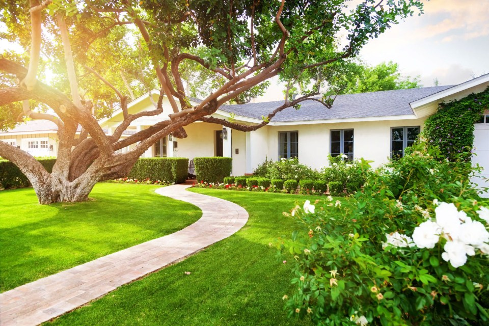 image showing a white ranch house with blue windows with a curving sidewalk under a huge old oak tree with golden sunlight on the white rosebushes in front of the house