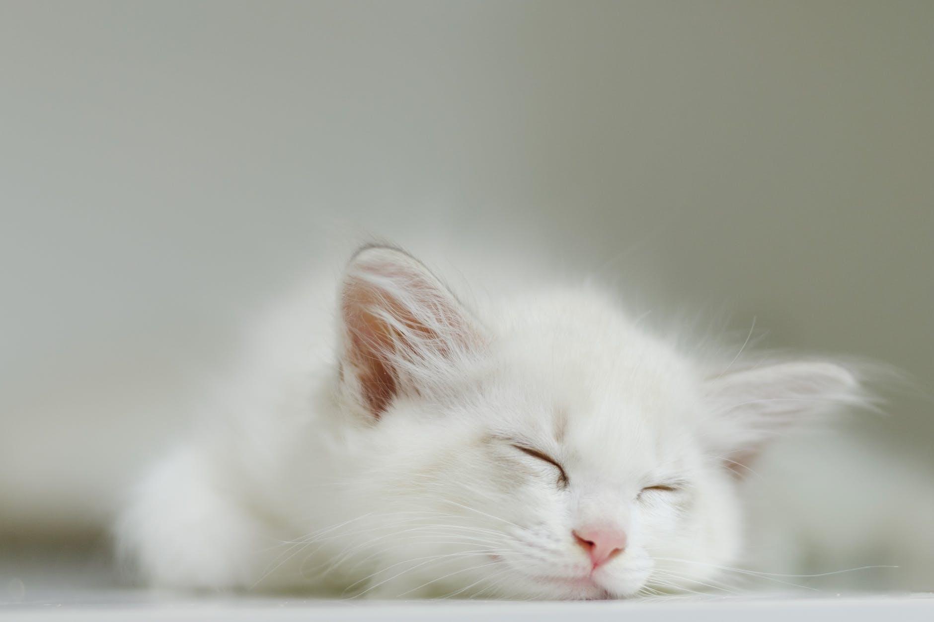 cute white kitty peacefully sleeping