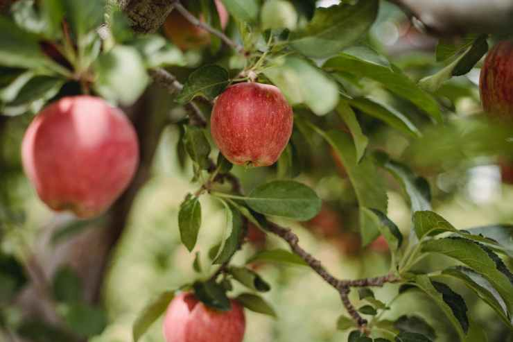 ripe red fresh apples growing on tree in orchard