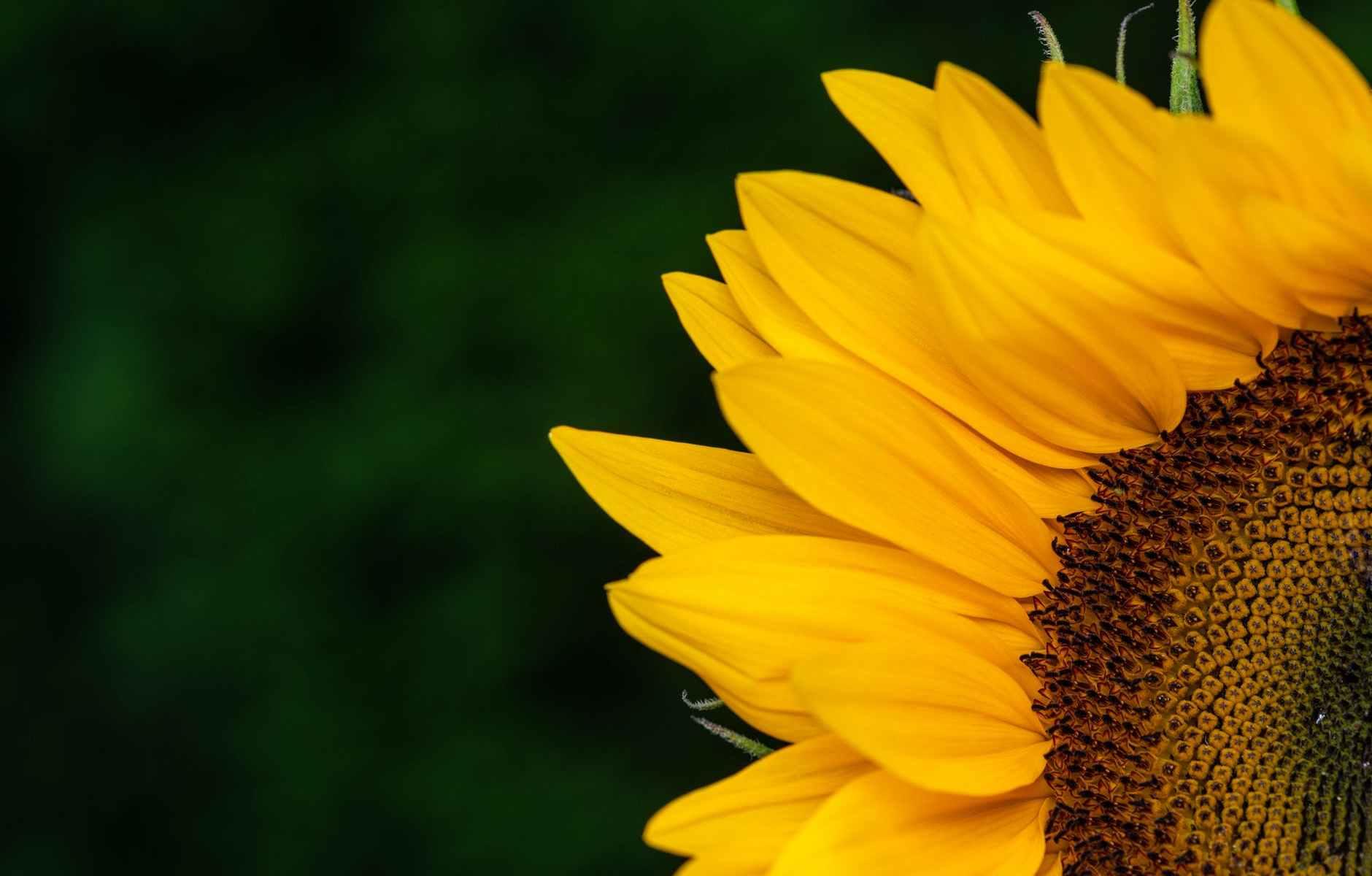 bright yellow sunflower against dark green background