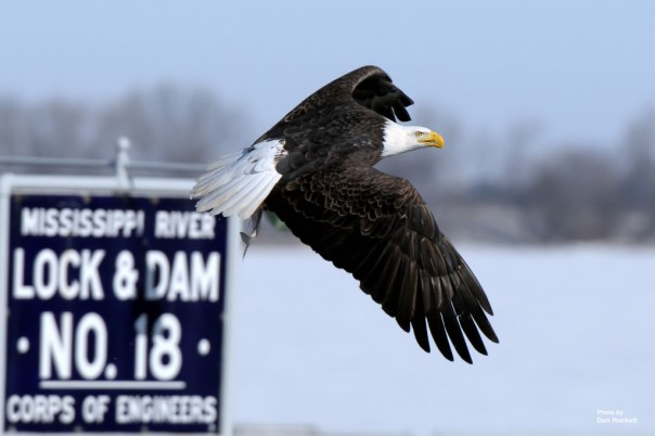 Photo by Dan Hockett Bald Eagle makes a quick getaway with it's catch at Lock and Dam 18 in January, 2009