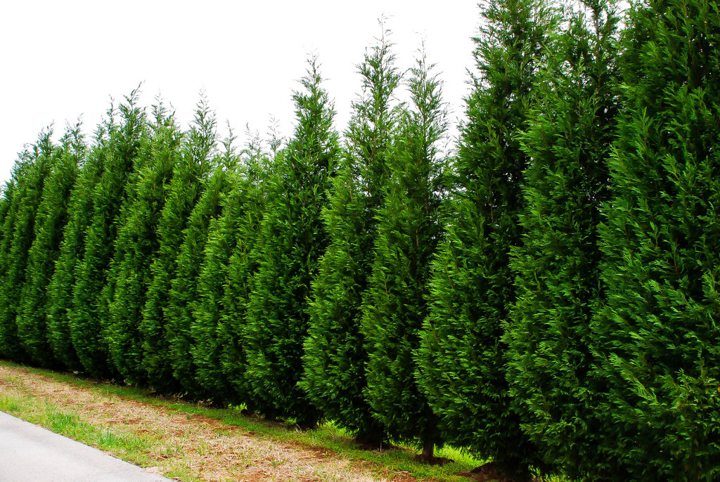 Fastest Growing Cypress Trees