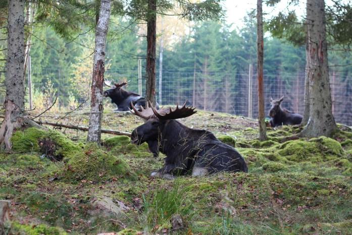mooseparksweden