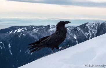 Summit-protecting raven, Crown Mountain (Matt Kennedy)