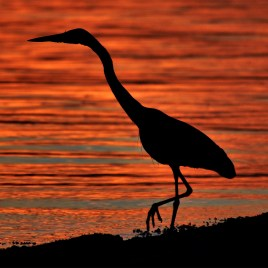 Heron Silhouetted at Sunset – Digital Download