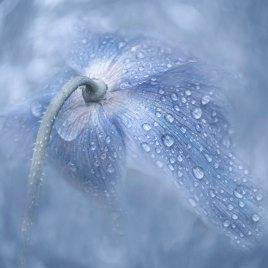 Himalayan Blue Poppy – Digital Download
