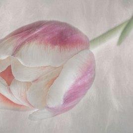 Spring Tulip – Digital Download