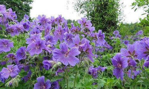 Underplanting West Coast Island Blooms