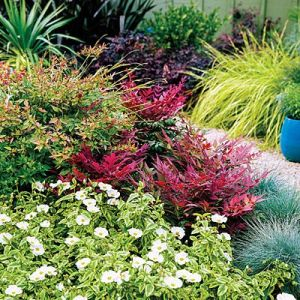 Nandina Domestica West Coast Island Blooms
