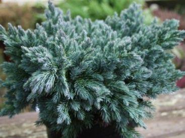 Juniperus Squamata Blue Star West Coast Island Blooms