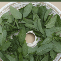 Dehydrating Mint... Don't Make The Same Mistakes I Did