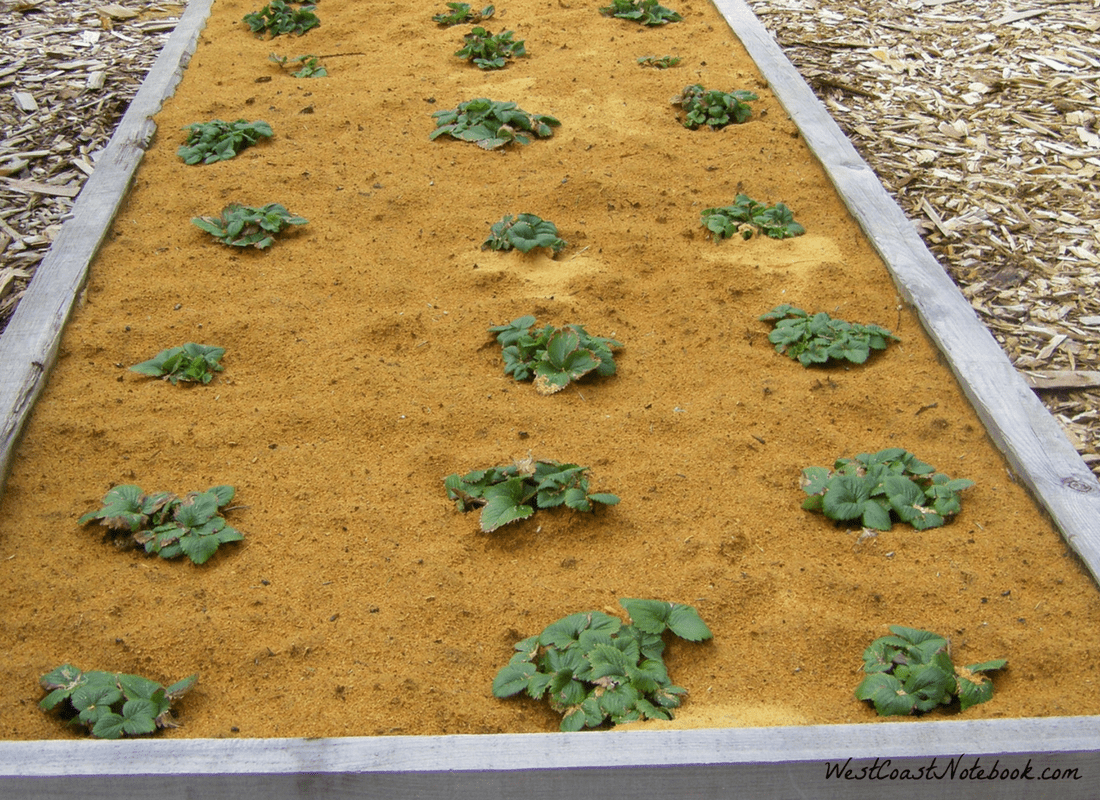 using sawdust as a mulch for strawberries