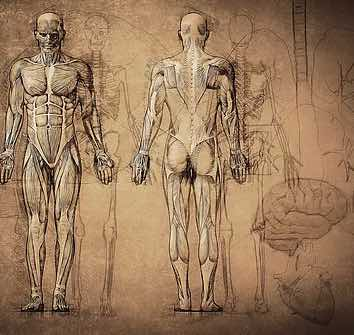 Drawing of a human body showing muscles and skeleton.