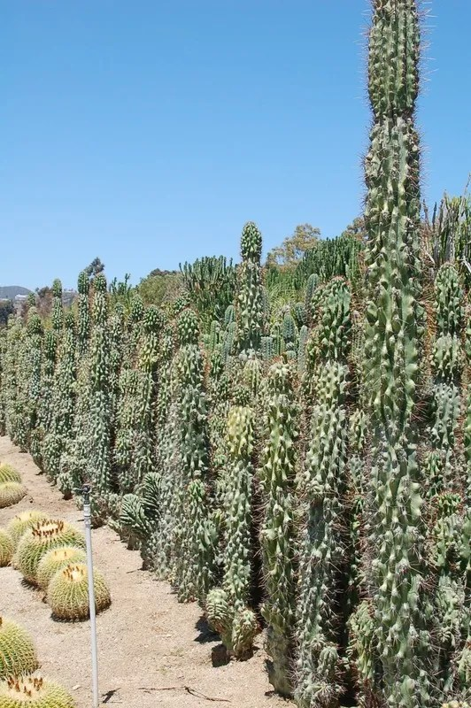 CEREUS PERUVIANUS MONSTROSUS MAJOR