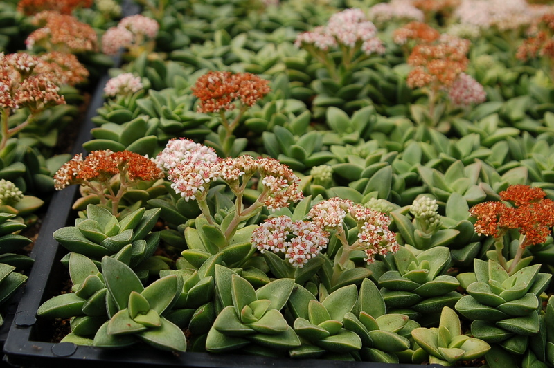 CRASSULA MORGAN PINK