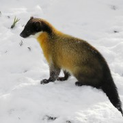 Western Cats Inc image of Marten in Snow