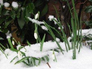 Imbolc snowdrops