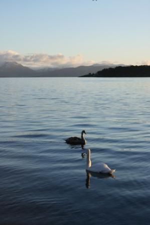 Norway swans.