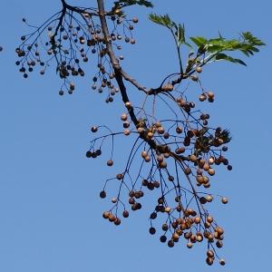 Cape Lilac